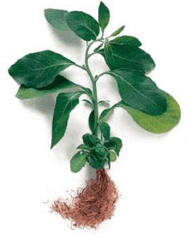 ayurveda ashwagandha adaptogenic herb image