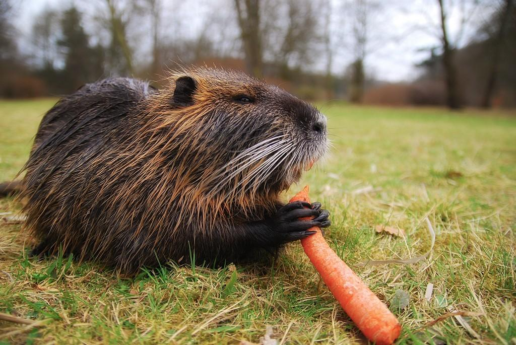 rodent eating carrot