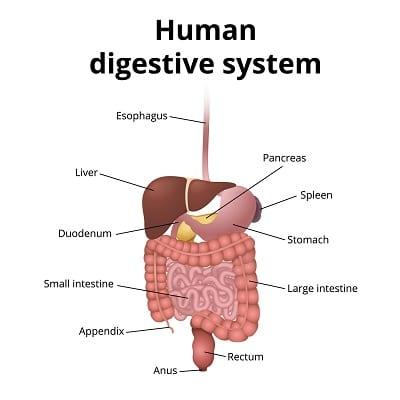 lifespa-image-digestive-system-diagram, sleeping on the left side