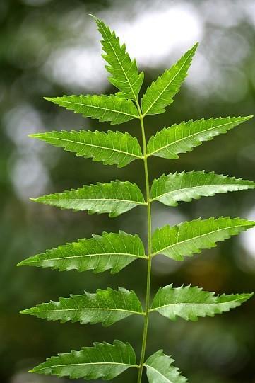 neem leaves image