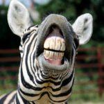truth about oil pulling zebra showing teeth