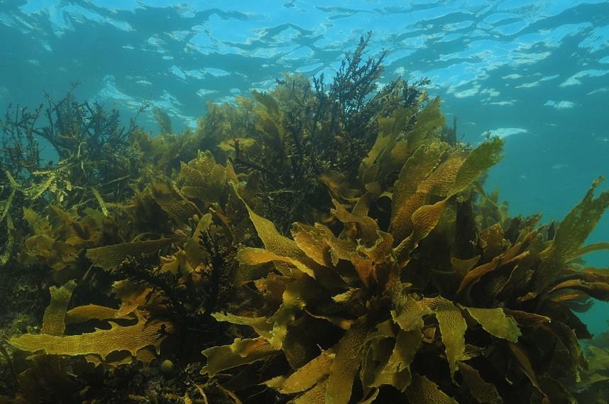 iodine deficiency seaweed image