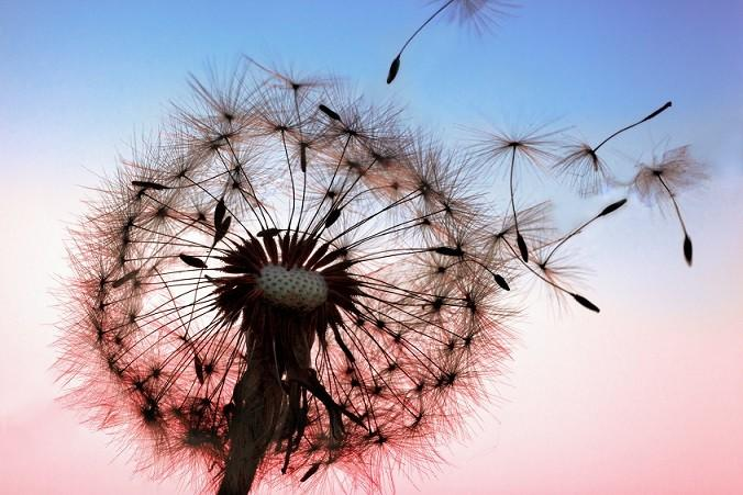 candida albicans Dandelion sunset image