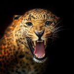 Leopard beast image