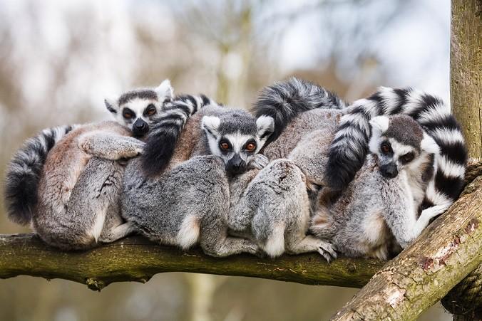 Lemurs hugging