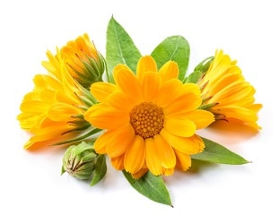 calendula june flowers