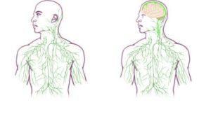 lifespa-brain-lymph-diagram