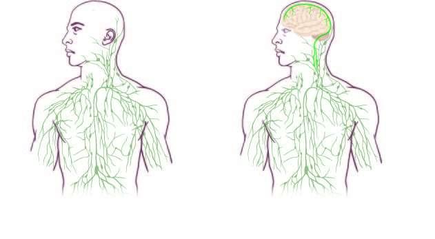 lifespa-brain-lymph-diagram