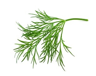 dill june flowers