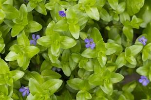 lifespa image, bacopa, green plant with purple flowers