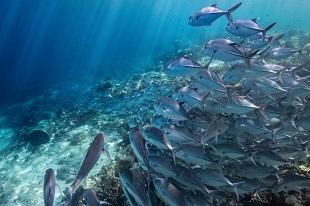 lifespa image, healthiest fish, blue ocean school of fish