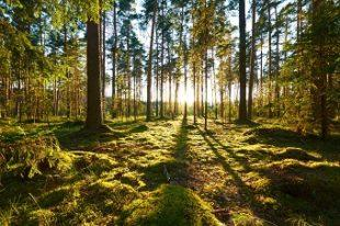 lifespa image, circadian rhythms, sunrise on a mossy pine forest