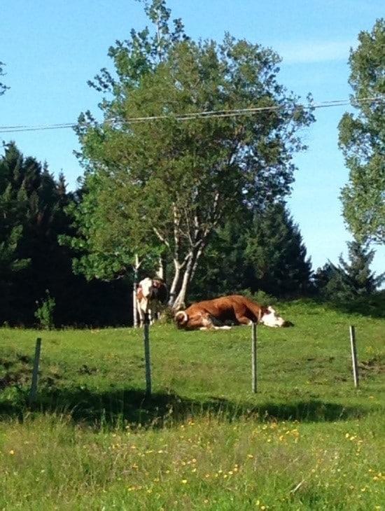 happy-norwegian-cows_image Happy Norwegian Cows