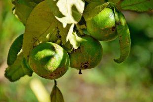 citrus bergamia bergamot