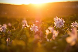 Sunrise over a field of flowers
