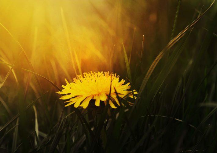 A single dandelion in the sun