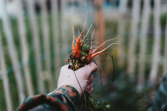 A hand holds a bunch of wild carrots with dirt