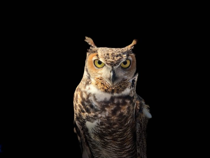 An owl on a black background