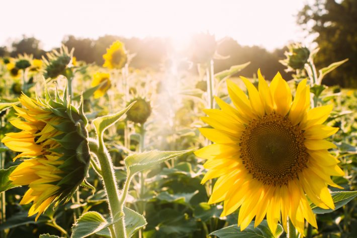 Field of sunflowers in the sun