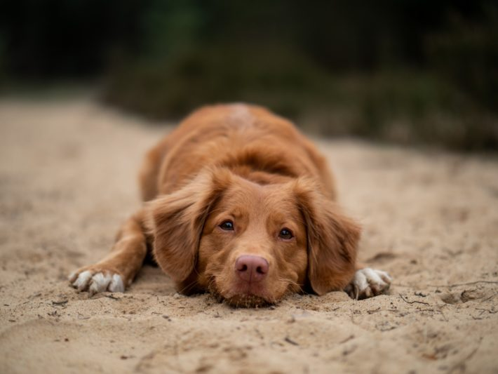 A dog rests on the beach