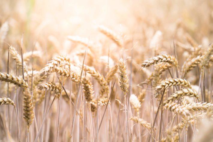 A wheat field in the sun