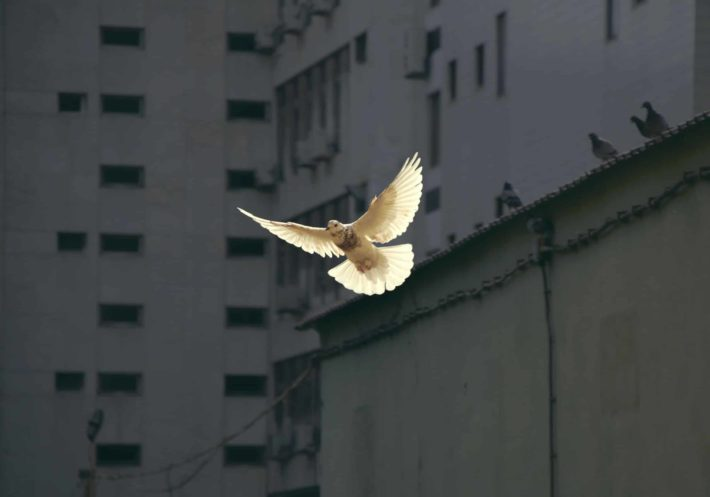 A white dove flies in front of urban high rises